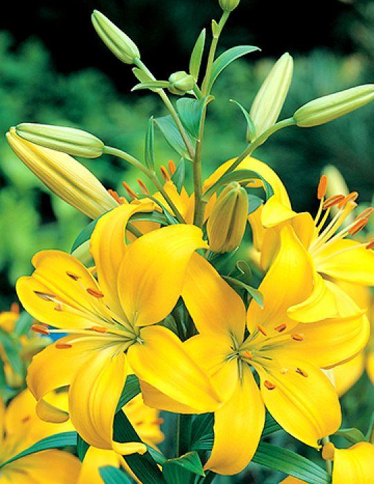 Lilium Madras (season: Winter)