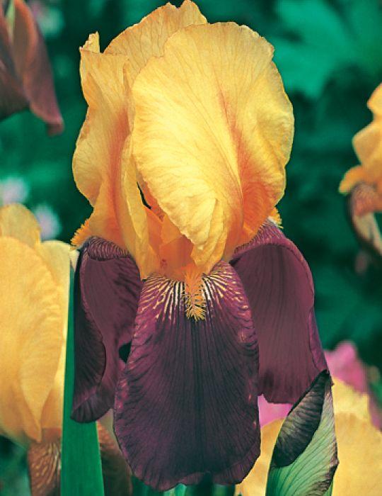 Bearded Iris Gambler (season: Winter)