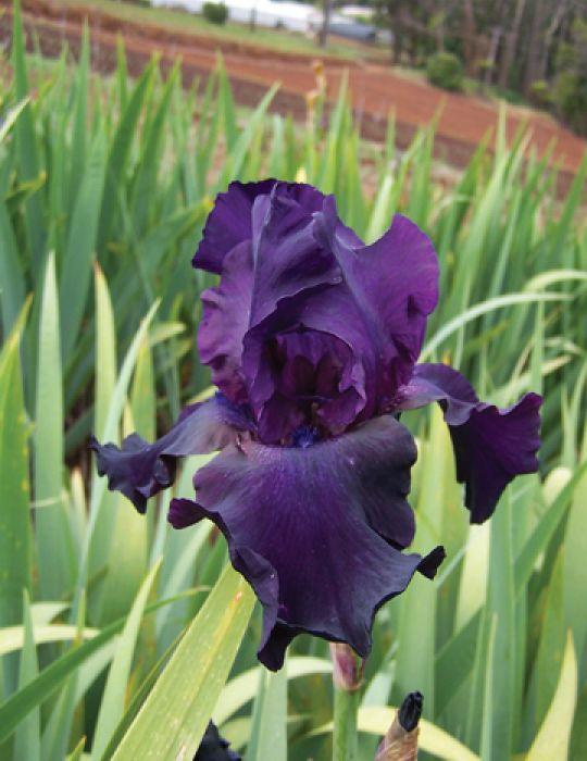 Bearded Iris Superstition (season: Winter)
