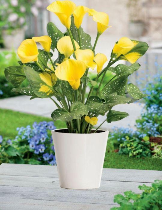 Calla Lily Pot of Gold (season: Winter)
