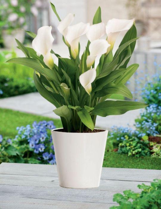 Calla Lily Pot of Snow (season: Winter)