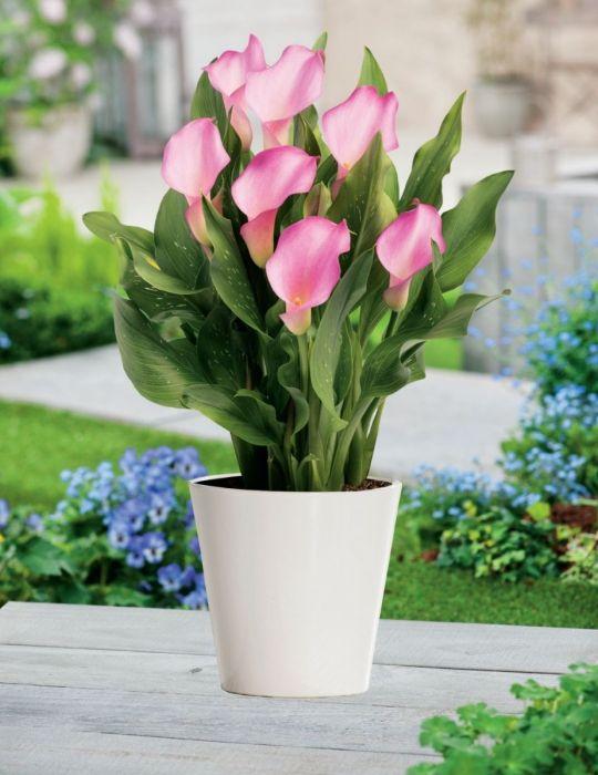 Calla Lily Pot Pink Blush (season: Winter)