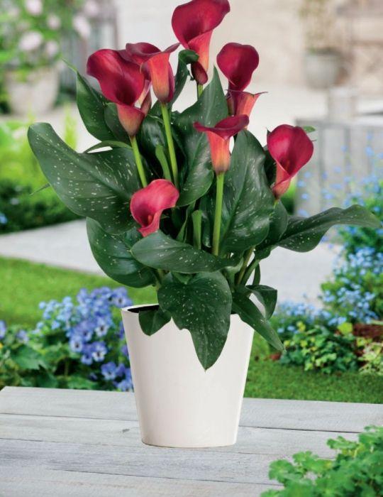 Calla Lily Pot Red Robin (season: Winter)