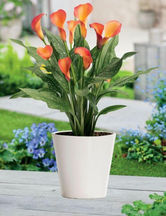 Calla Lily Pot Sunset (season: Winter)