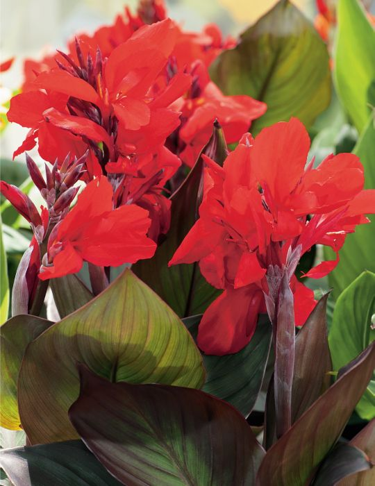 Canna Lily - Bronze Scarlet (season: Winter)