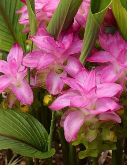 Curcuma Cordata Jewel of Thailand (Season:Aug-Sep)