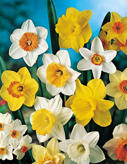 Daffodil Mixed Selection Bumper Bargain Pack
