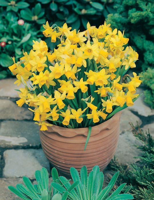 Daffodil Miniature Tete a Tete
