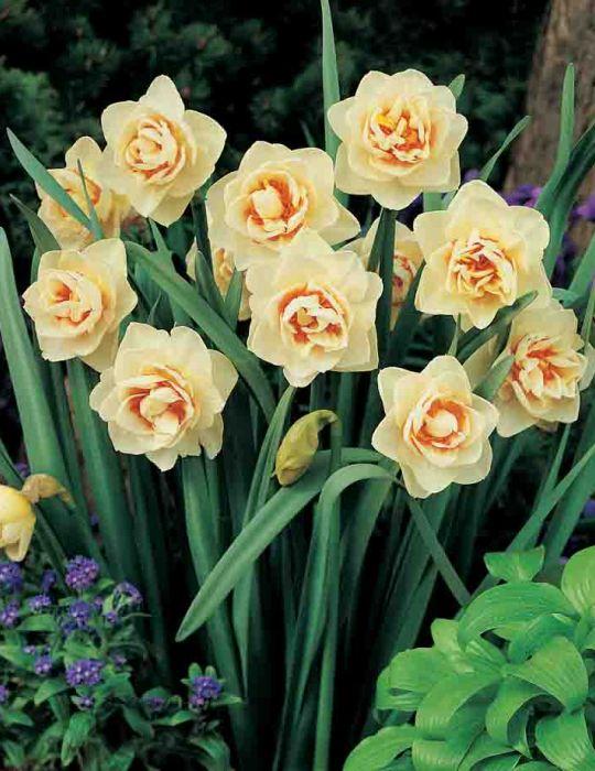 Daffodil Ascot
