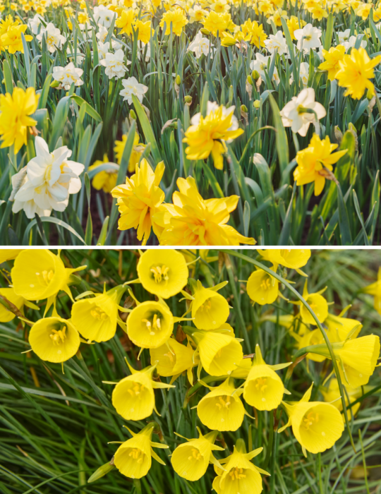 Daffodil Bulk Box