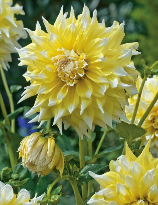 Dahlia Giant Lemon Snow (season:Aug-Sep)