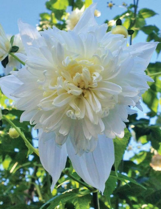 Dahlia Tree Double White (season:Aug-Sep)