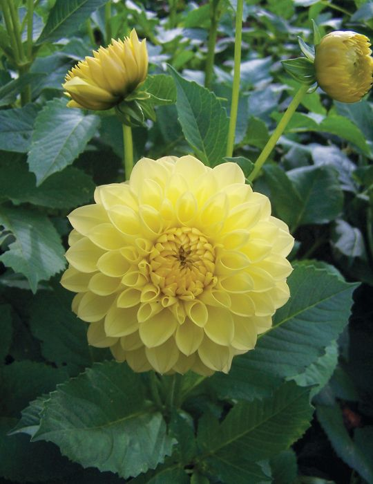 Dahlia Yellow Show (season:Aug-Sep)