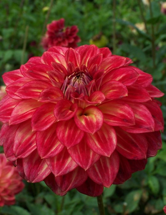 Dahlia Ciska (season:Aug-Sep)
