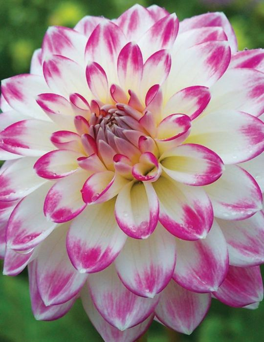 Dahlia Lollipop (season:Aug-Sep)