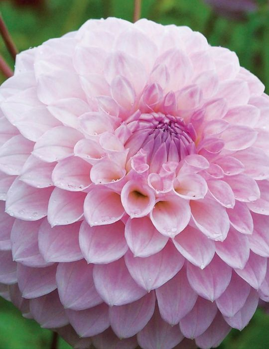 Dahlia Marshmallow (season:Aug-Sep)