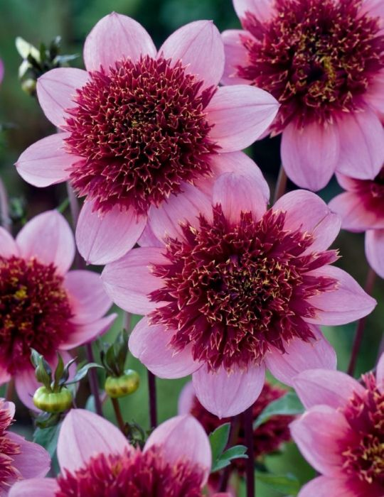 Dahlia Purex (season:Aug-Sep)