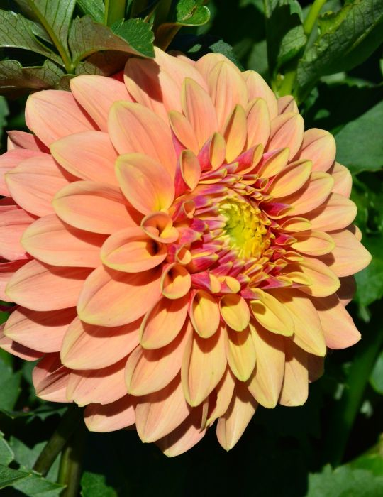 Dahlia Sunset (season:Aug-Sep)