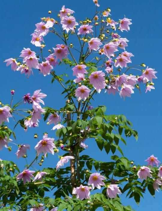 Dahlia Tree Pink (season:Aug-Sep)