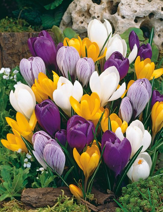 Dutch Crocus Mixed Colours