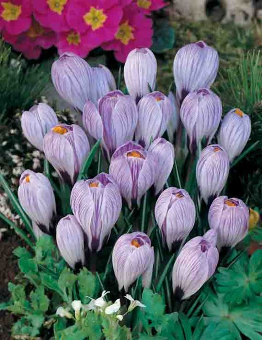 Dutch Crocus Pickwick
