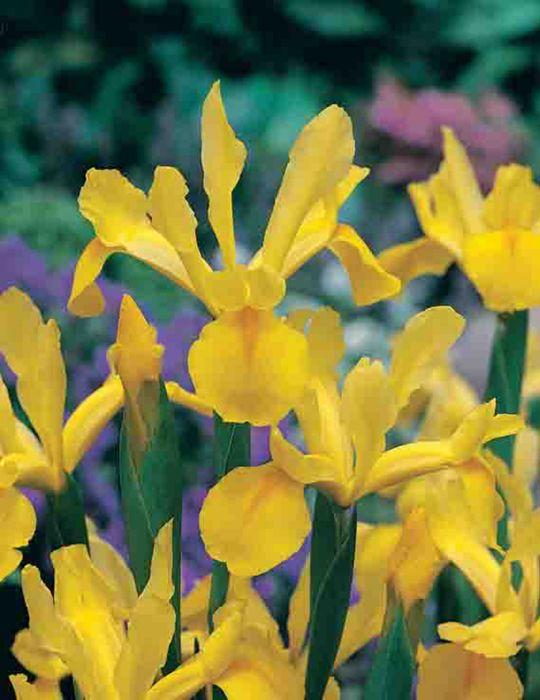 Dutch Iris Royal Yellow
