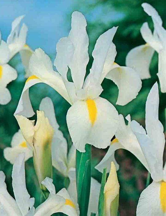 Dutch Iris Wedgewood White