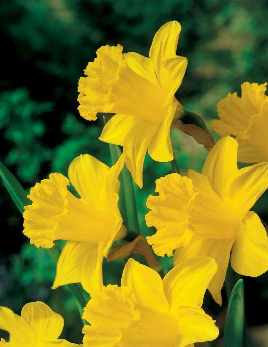 Daffodil King Alfred Bumper Bargain Pack