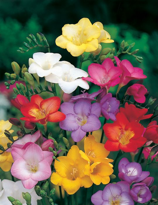 Freesia Massing Mixed Value Pack