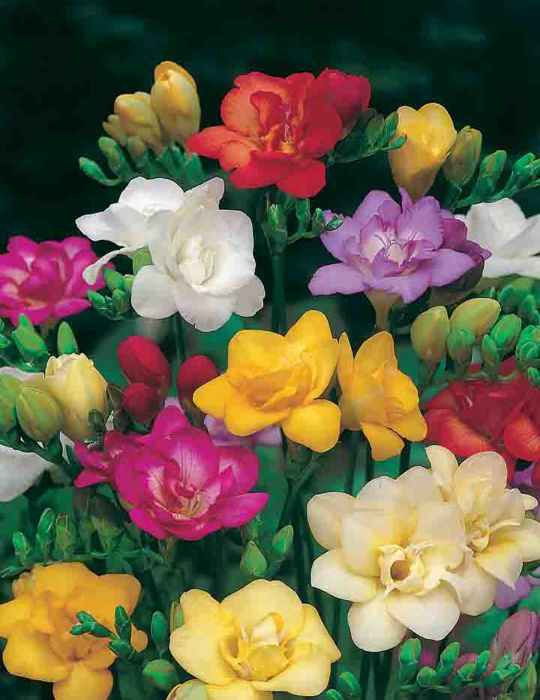 Freesia Double Blooms