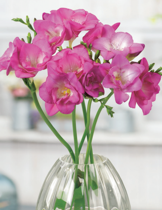 Freesia Imperial Pink