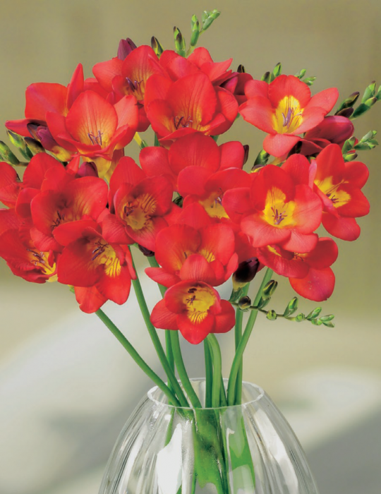 Freesia Scarlet Red