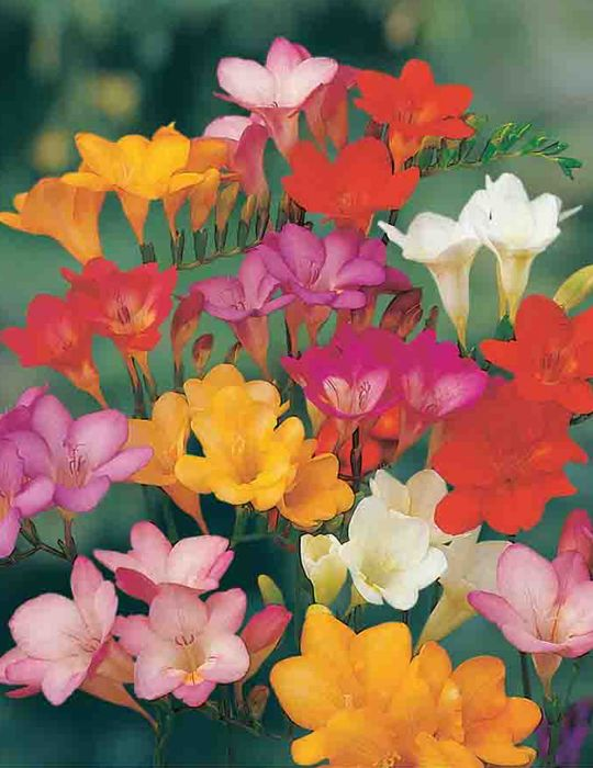 Freesia Sweet Scented Mix