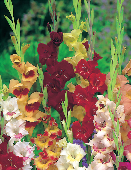 Gladioli Glamour Mixed Bumper Bargain 15-pack (season: Winter)