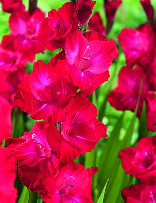 Gladioli Partituur (season: Winter)
