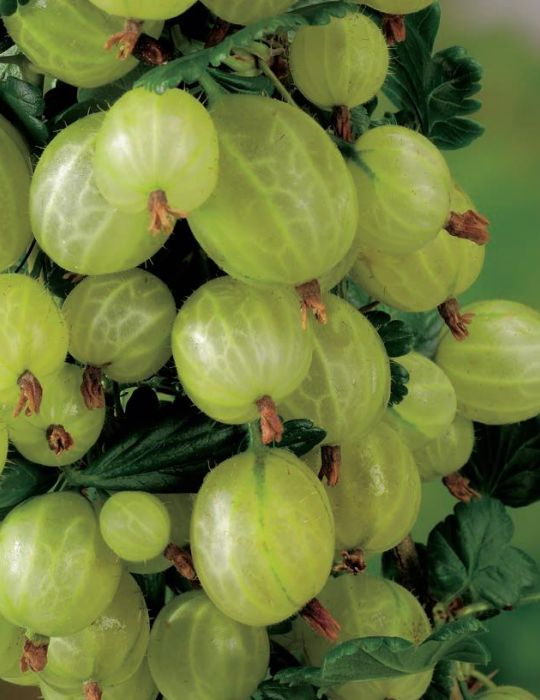 Gooseberry Thornless