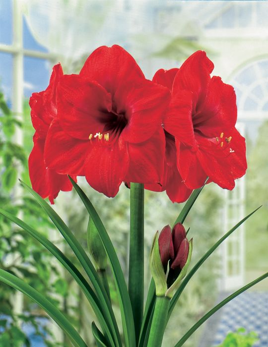 Hippeastrum Festival (season:Aug-Sep)