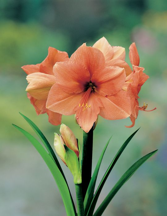 Hippeastrum Rilona (season:Aug-Sep)