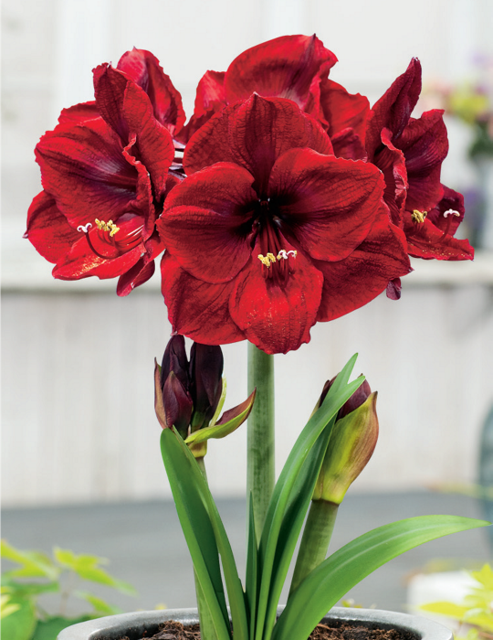 Hippeastrum Benfica (season:Aug-Sep)