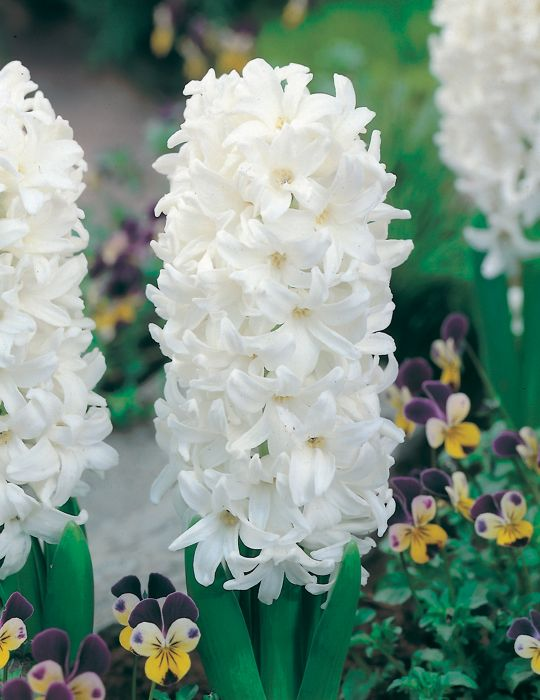 Hyacinth L'lnnocence White