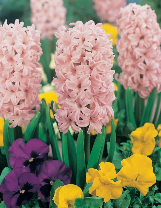 Hyacinth Lady Derby Pink