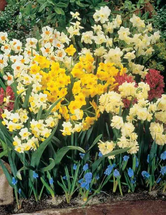 Jonquil Mixed Shades