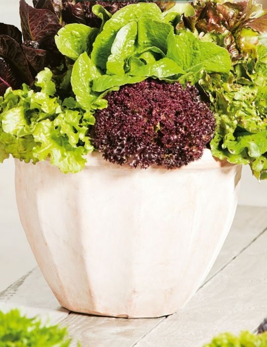 Lettuce Gourmet Mixed CONTAINER GARDEN
