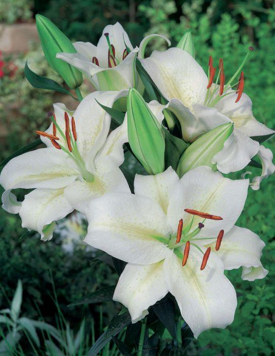 Oriental Lily Rialto (season:Aug-Sep)