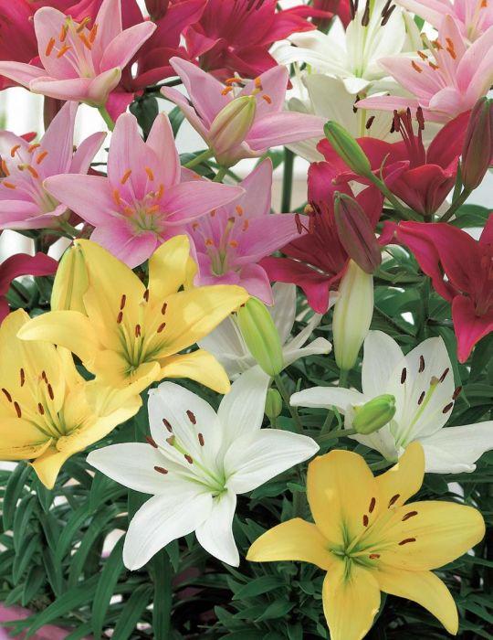 Lilium Pot Joy Mix Bumper (season: Winter)