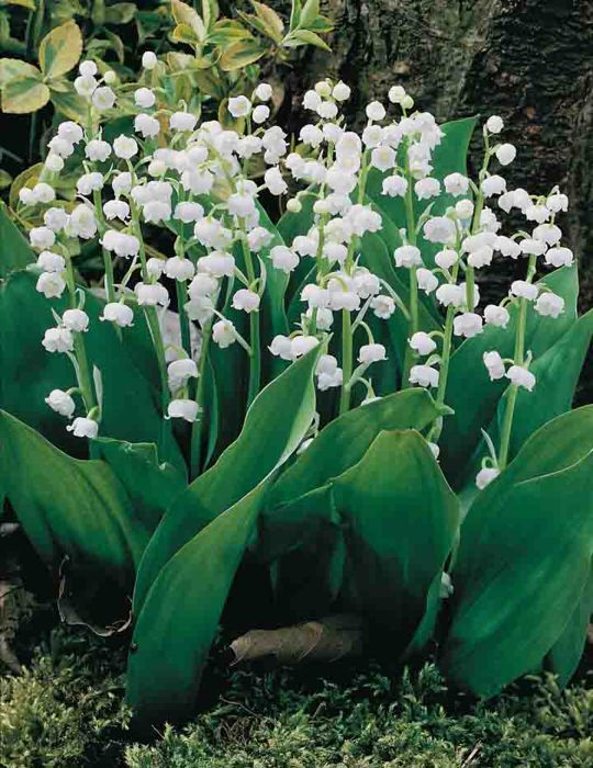 Lily of the Valley White Bells (season: Winter)