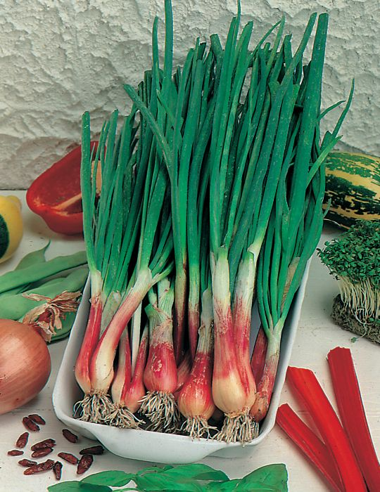 Spring Onion North Holland Blood Red