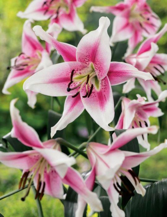 Oriental Trumpet Lily Anastasia (season:Aug-Sep)