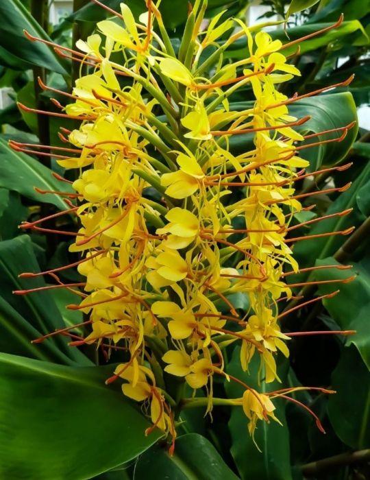 Ginger Ornamental Yellow (season: Winter)