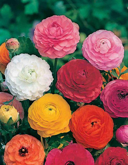Ranunculus Rembrandt Mixed